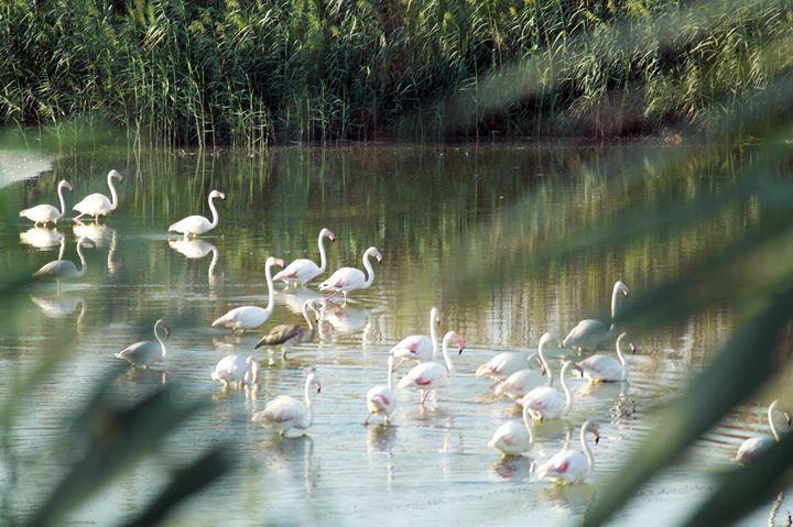 Фламинго на Северном Кипре