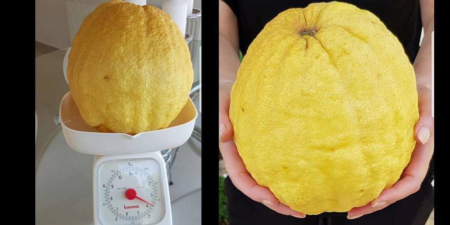Гигантский лимон вырос на Кипре