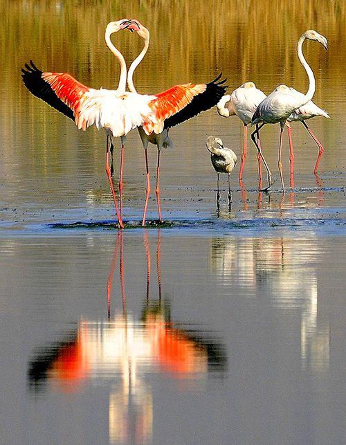 Фламинго в Лефкоше