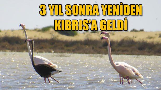 Черный фламинго вернулся на Кипр спустя три года