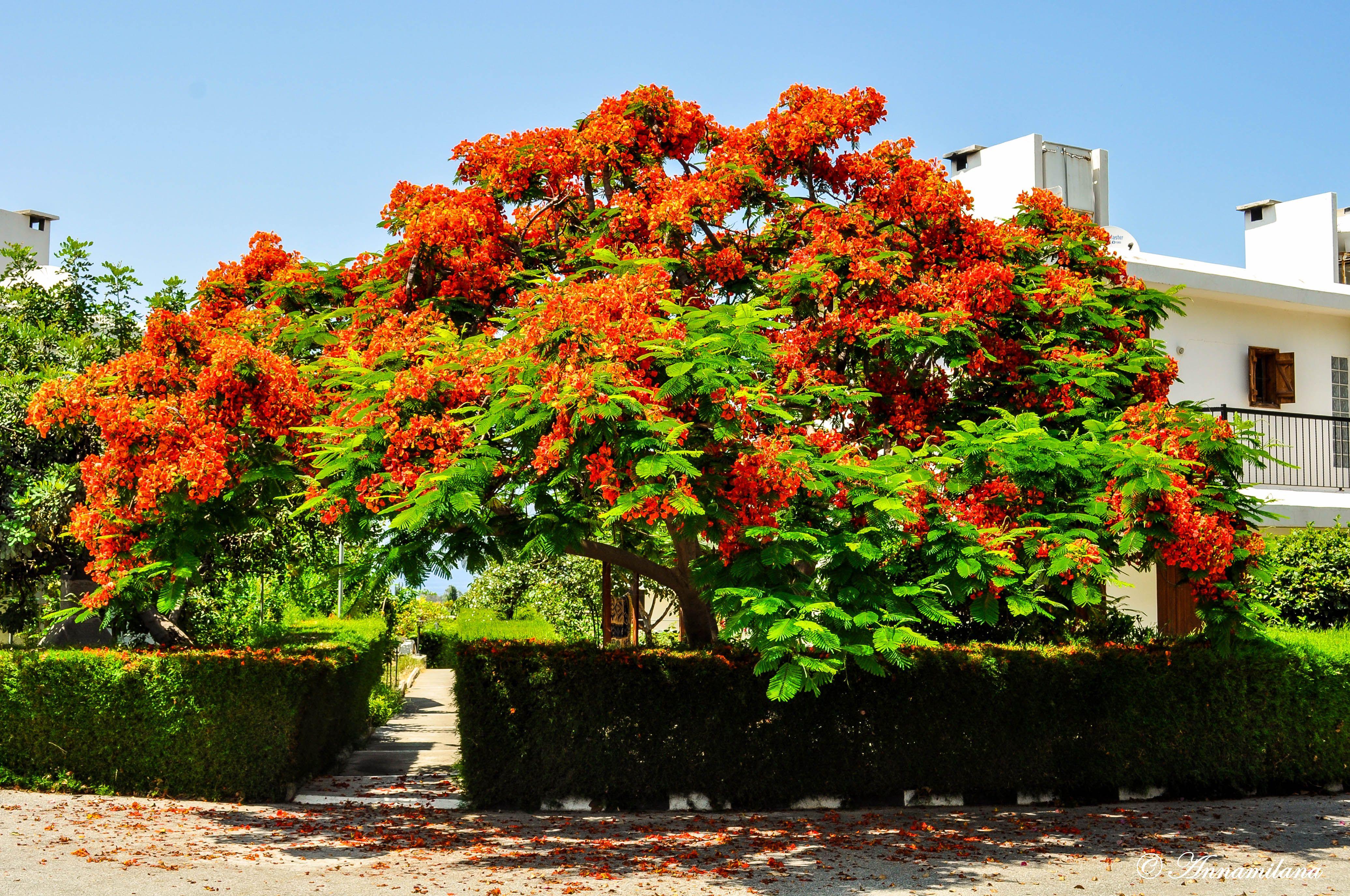 Огненное дерево Кипра