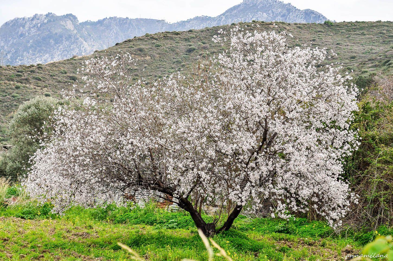 Фестиваль цветущего миндаля
