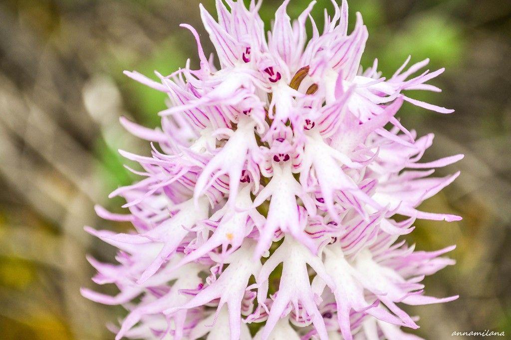 Дикие орхидеи Кипра