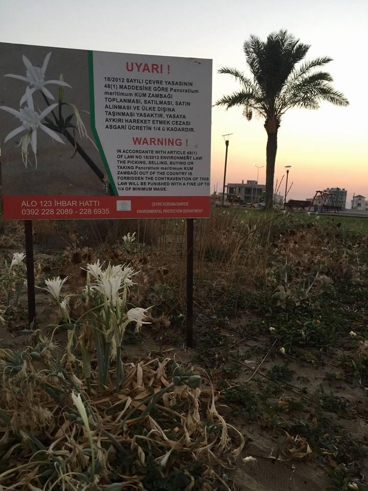 Не рвите песчаные лилии