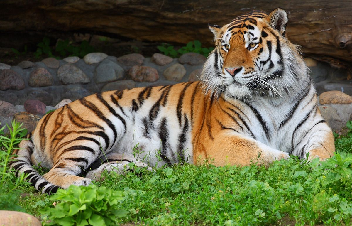 Тигрица с Кипра едет в Россию