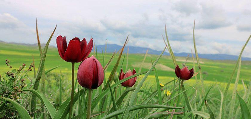 Дикие тюльпаны на Кипре