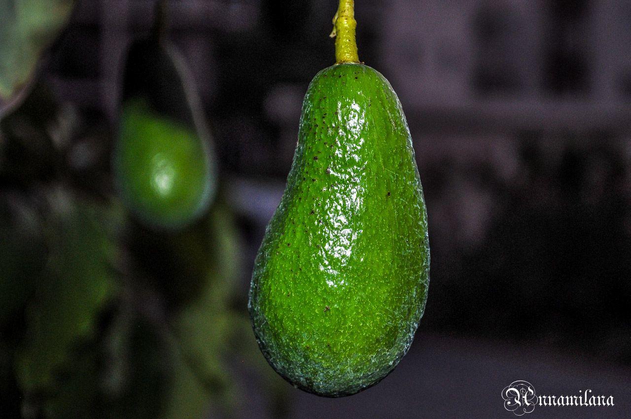 Про авокадо на Кипре