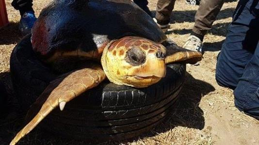 Водолазы спасли от неволи морскую черепаху