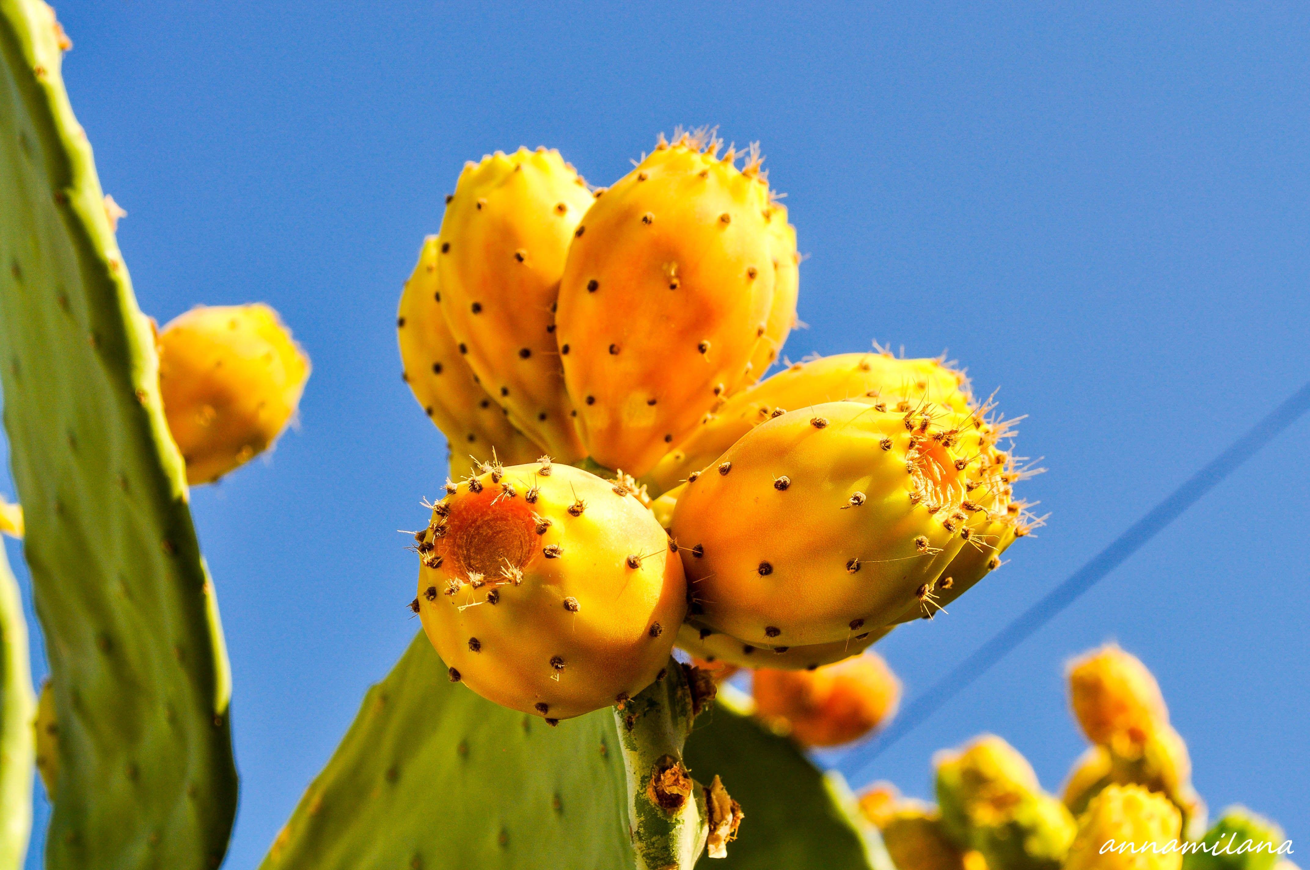 Съедобный плод кактуса