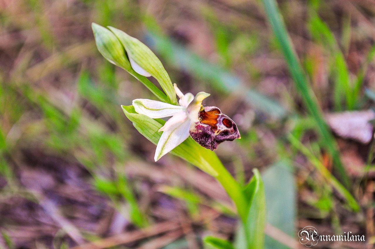 Орхидеи Офрис