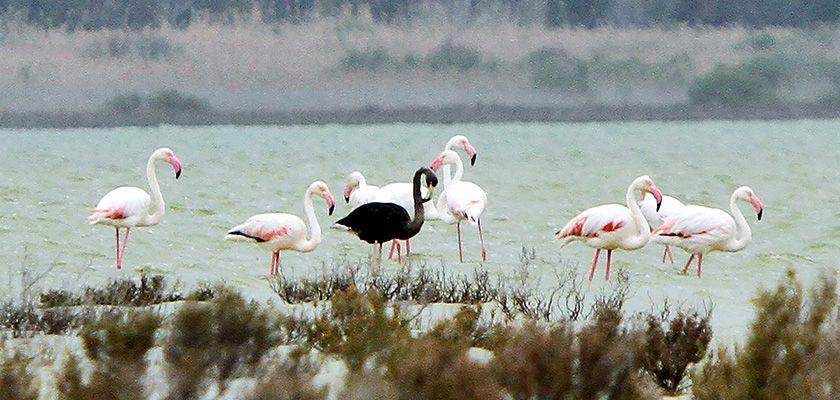 Кипр посетили фламинго