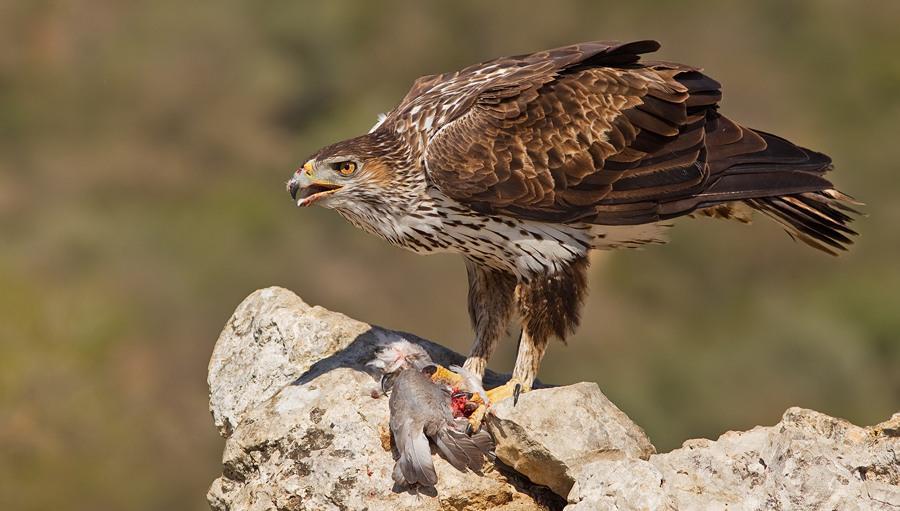 Орел Бонелли выпущен в дикую природу